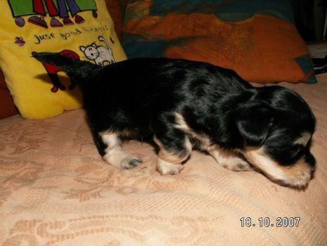 Havanský psík Archie Černošický poklad
