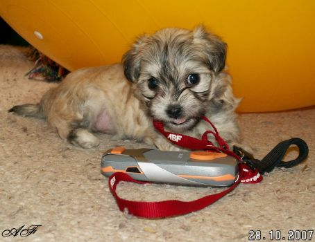 Havanský psík Amy