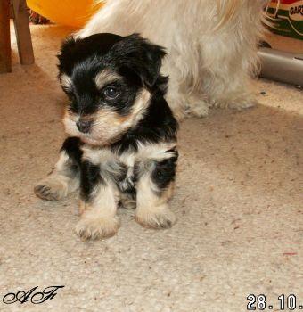 Havanský psík Archie